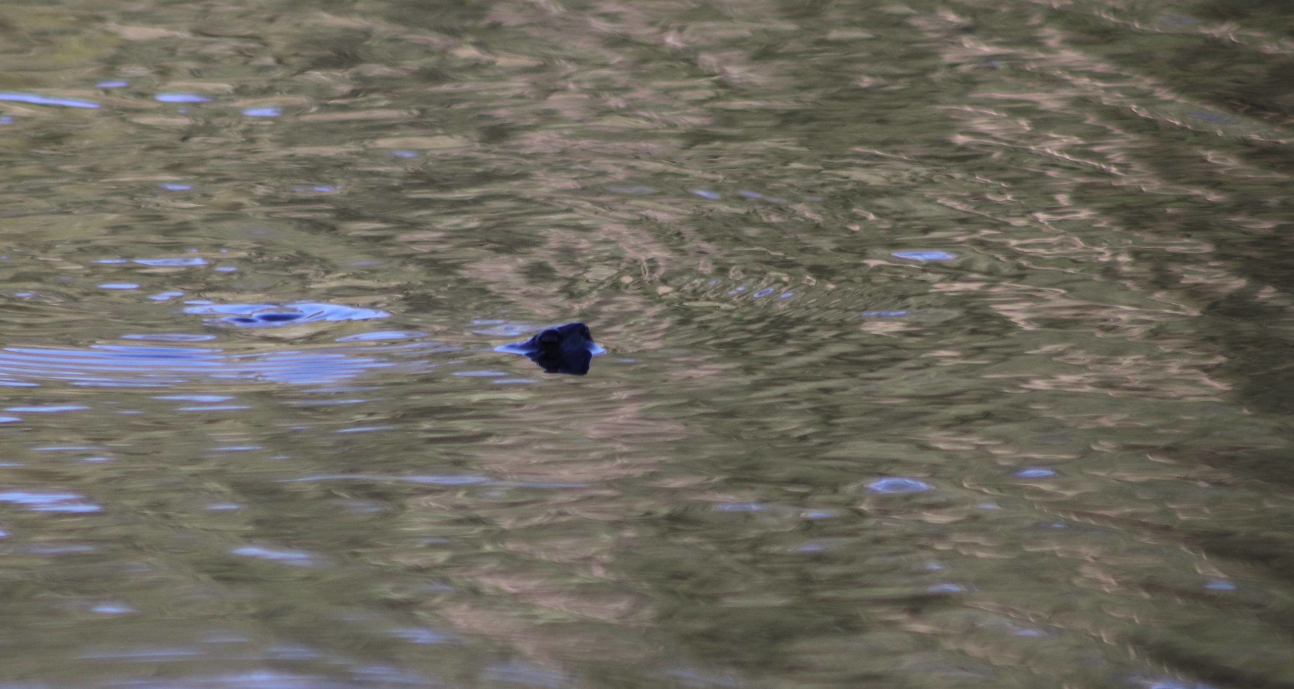 Tortue nageant dans l'étang